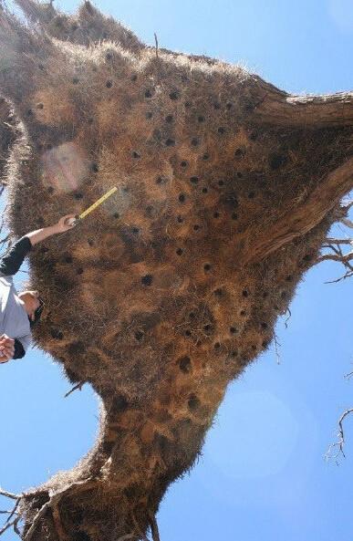 世界最大鸟巢:重1吨 可住500只鸟
