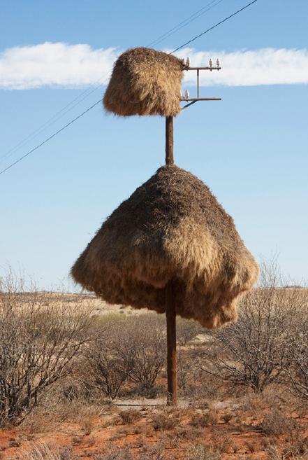 群织雀利用电线杆筑巢