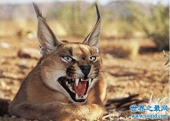 【图】世界十大长相最凶的猫,兔狲狠到无法被驯化