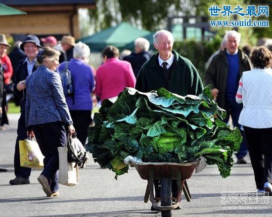 世界上最大的花菜,英国老汉种出54斤花菜