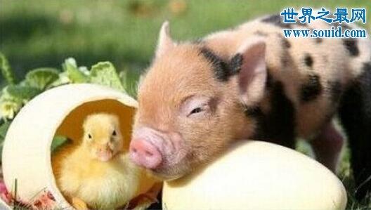 世界上最小的猪微型猪,只有茶杯那么大(超级萌)